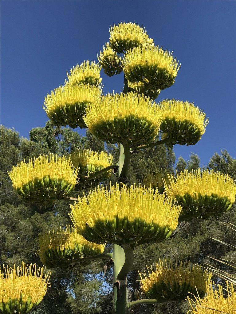 Agave parryi truncata en floraison